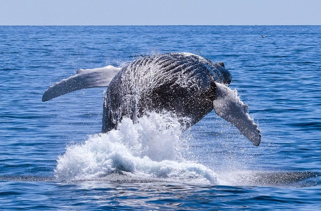 The Annual Humpback Whale Migration: What you Need to Know